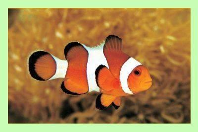 Clownfish-dlya-Skype.jpg
