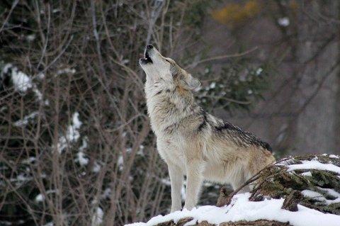 1614625775_wolf-1992716_640.jpg